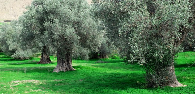 2016/10/9 News Letter 【PHUSIKOS(フシコス)】ギリシャだから高品質。|オリーブ品種のおはなし