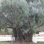 とっても長生きなオリーブの木