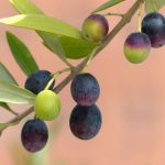 オリーブ果実の成熟度と成分