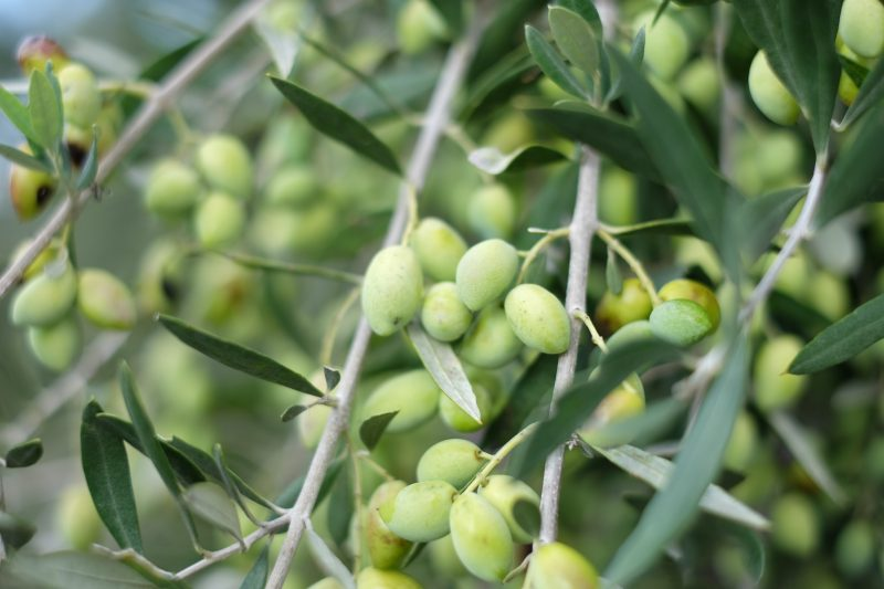 オリーブの実を収穫してからオイルになるまで、どれくらいの時間がかかりますか?