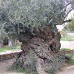クレタ島最古のオリーブ樹